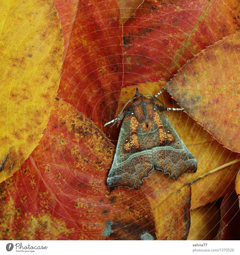 Tarnung Natur Pflanze rot Blatt ruhig Tier gelb Herbst braun orange Design Erde planen Insekt Schmetterling Herbstfärbung