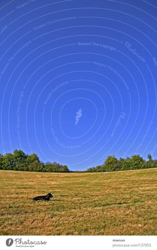 a dog's meadow II himmelblau Hund Labrador Frühling Sommer ruhig Gelassenheit Ausdauer geduldig Vertrauen Tier Konzentration grün gelb Wiese Gras atmen Luft