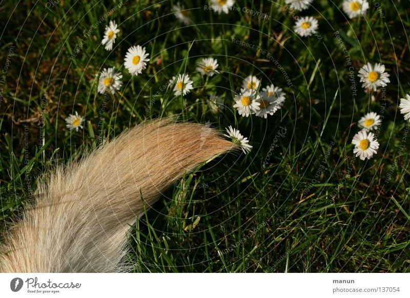 Blümchenschwanz Gras Wiese Schwanz Angelrute Fell blond grün Labrador gelb Hund Tier Frühling Sommer ruhig Gänseblümchen Pinsel Säugetier Garten Hundeschwanz