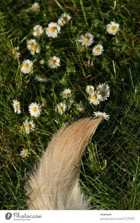 """""""Bello's Perennis"""" ;-) Gras Wiese Schwanz Angelrute Fell blond grün Labrador gelb Hund Tier Frühling Sommer ruhig Gänseblümchen Pinsel Freude Garten"""