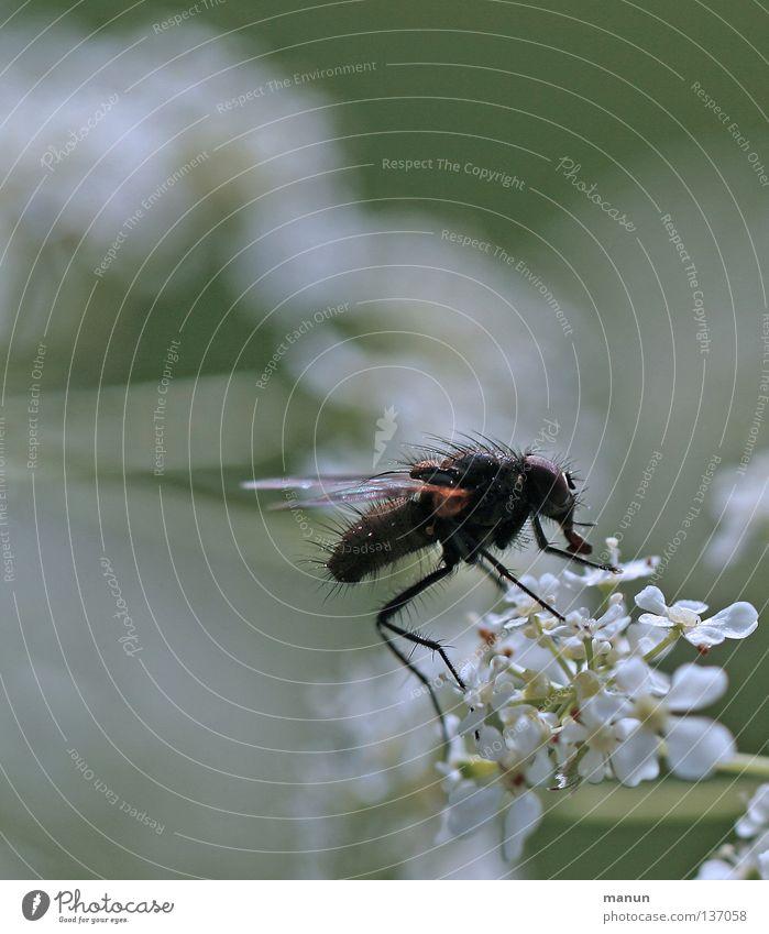 Flugobjekt Kerbel weiß grün schwarz Blume Blüte Insekt Stechmücke Fluggerät Chitin Elefant Staubfäden Physik Makroaufnahme Nahaufnahme Fliege Flugtier