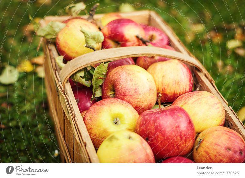 Äpfel III Natur Pflanze Umwelt Herbst Wiese Gras Gesundheit Glück Garten frisch authentisch ästhetisch einzigartig Schönes Wetter Hoffnung Bioprodukte