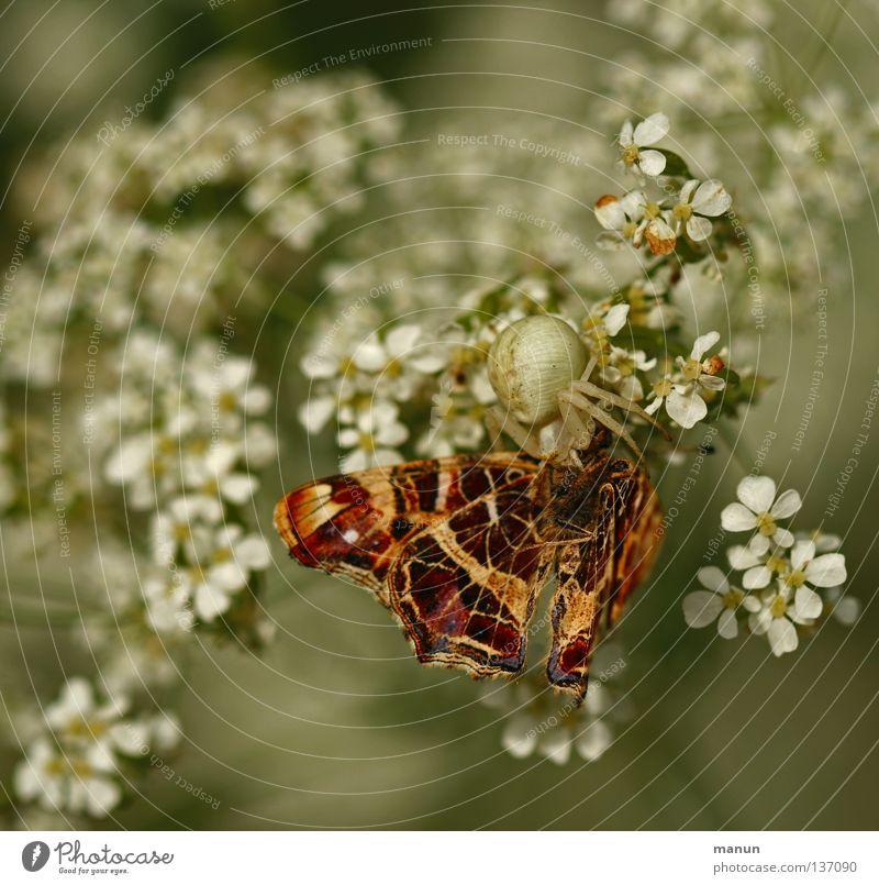 Giftbiss in den Falternacken Krabbenspinne Schmetterling Appetit & Hunger Ernährung Gliederfüßer Spinne Waldrand Insekt Tier Blüte Blume weiß braun Tragödie