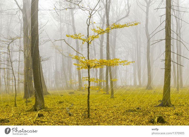 Fantasie Wald mit nebel und gelbem Laub Frühling Herbst Nebel Baum Blatt träumen Surrealismus Zauber fantasie Märchenwald Zauberwald mystisch verfärbt