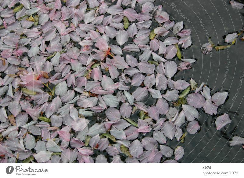 Der Frühling ist vorbei Blüte Blatt Blütenblatt Kirsche Pfütze rosa Wasser Makroaufnahme