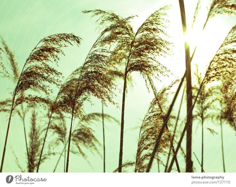 Die Wogen des Windes II Schilfrohr Gras zart klein leicht See Biotop Frühling Binsen Halm Grasland Pflanze Wiese Gegenlicht Sonne blenden Strahlung Beleuchtung
