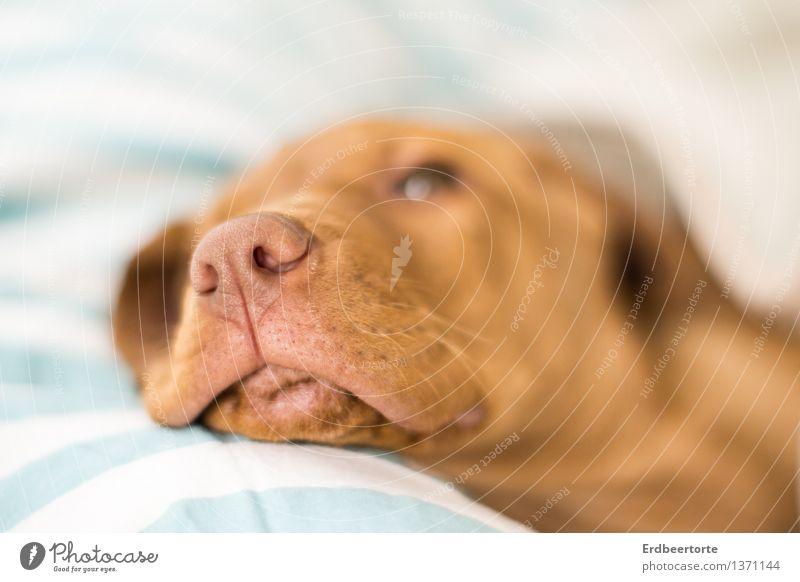 Daydreamer Hund Erholung ruhig Tier Tierjunges braun träumen liegen Zufriedenheit niedlich Schutz Gelassenheit Haustier geduldig Tierliebe Welpe