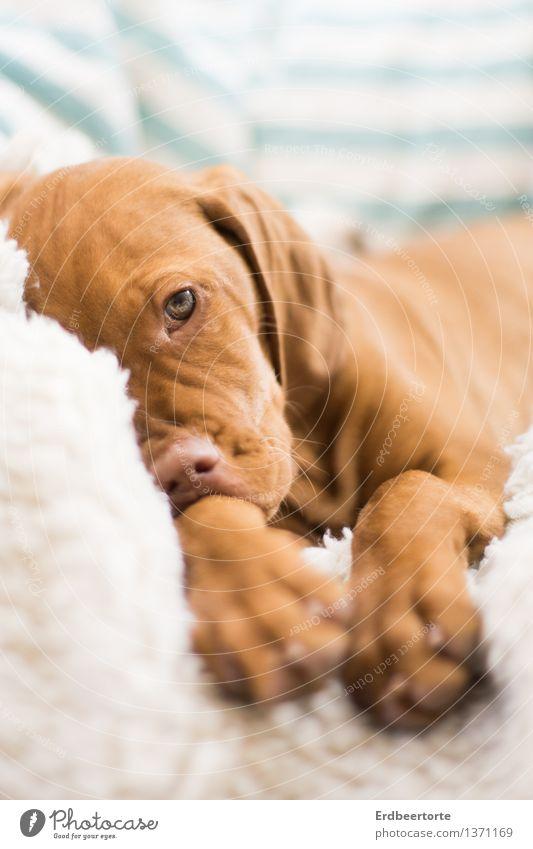 Schmollen Tier Haustier Hund Welpe Jagdhund 1 Tierjunges beobachten Erholung warten braun Ben Vizsla dog puppy Farbfoto Gedeckte Farben Innenaufnahme