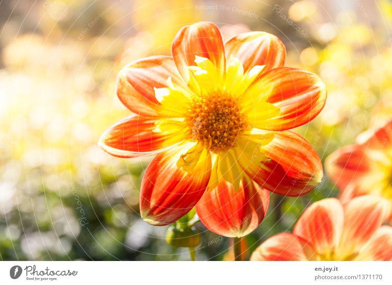 Lichtblick Muttertag Natur Pflanze Sonnenlicht Frühling Sommer Schönes Wetter Blume Blüte Dahlien Garten Blühend Wachstum hell schön rund gelb orange