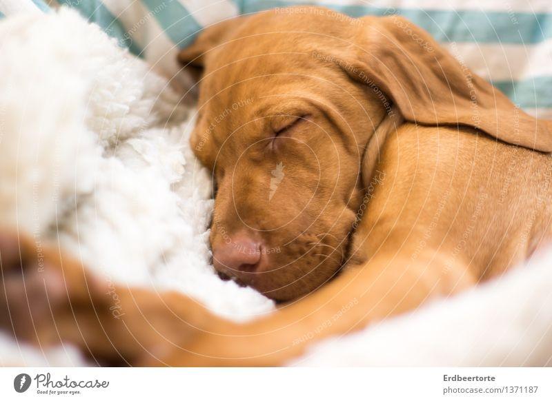 Schlafende Hunde soll man nicht wecken Tier Haustier Tiergesicht Fell 1 Tierjunges Erholung genießen schlafen träumen klein weich braun Müdigkeit Erschöpfung