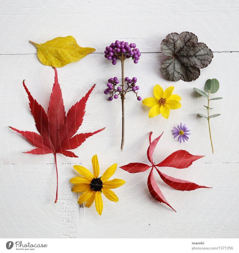 Herbst im Garten III Natur Pflanze Super Stillleben herbstlich Blume Blüte Blatt Eukalyptusbaum Ahorn Frucht mehrfarbig rot gelb violett schön Blühend Farbfoto