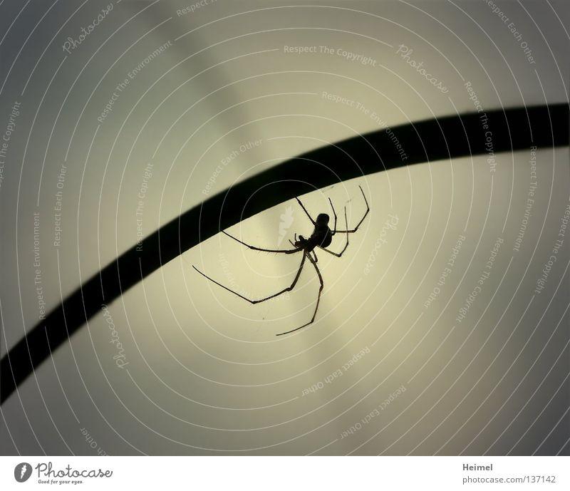 Spinne am Abend Natur Tier Schilfrohr Halm Spinne