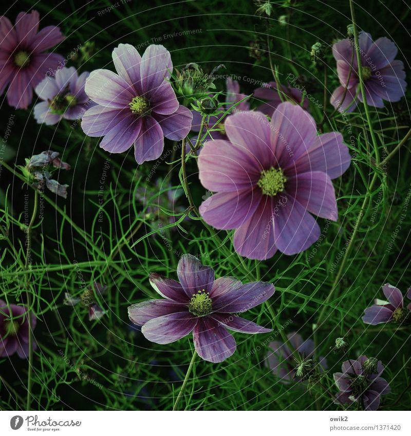 Kosmisches Schmuckkörbchen Natur Pflanze grün schön Blume Landschaft Umwelt Blüte natürlich Glück Garten Stimmung rosa glänzend Wachstum leuchten