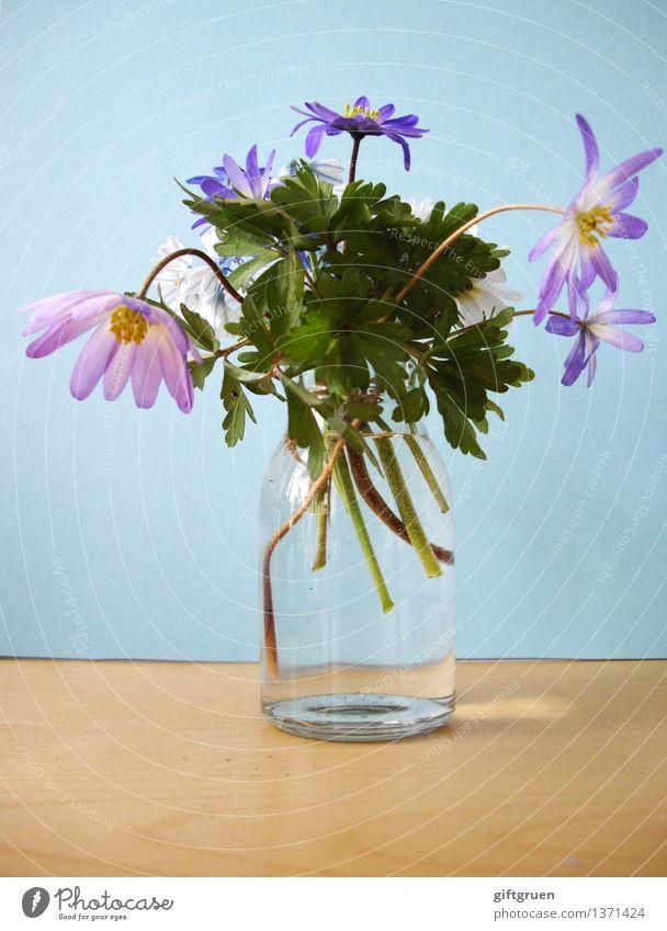 frühling im glas Pflanze Frühling Blume Blatt Blüte Blühend Frühlingsblume Vase Glas Anemonen Stengel Dekoration & Verzierung mehrfarbig violett rosa