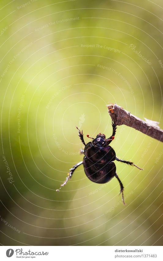 Geotrupidae Natur grün Tier schwarz Umwelt Wildtier hängen Käfer