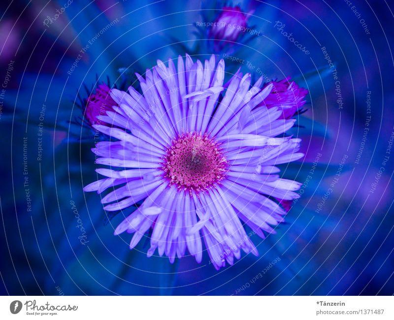power flower Natur Pflanze Herbst Schönes Wetter Blume Blüte Astern Garten ästhetisch Freundlichkeit Fröhlichkeit frisch positiv schön blau rosa Außenaufnahme