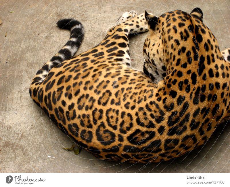 Wildcat relaxing Katze Tier ruhig liegen Reinigen Sauberkeit Fell Gelassenheit machen Säugetier Schwanz Muster lutschen Leopard Fellpflege