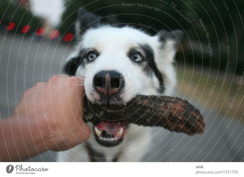 Grrrrrrrrr Freizeit & Hobby Spielen Park Tier Haustier Hund 1 Holz fangen Zusammensein Angst Hand greifen beißen Zähne Stock Freundschaft Leika Jagdhund
