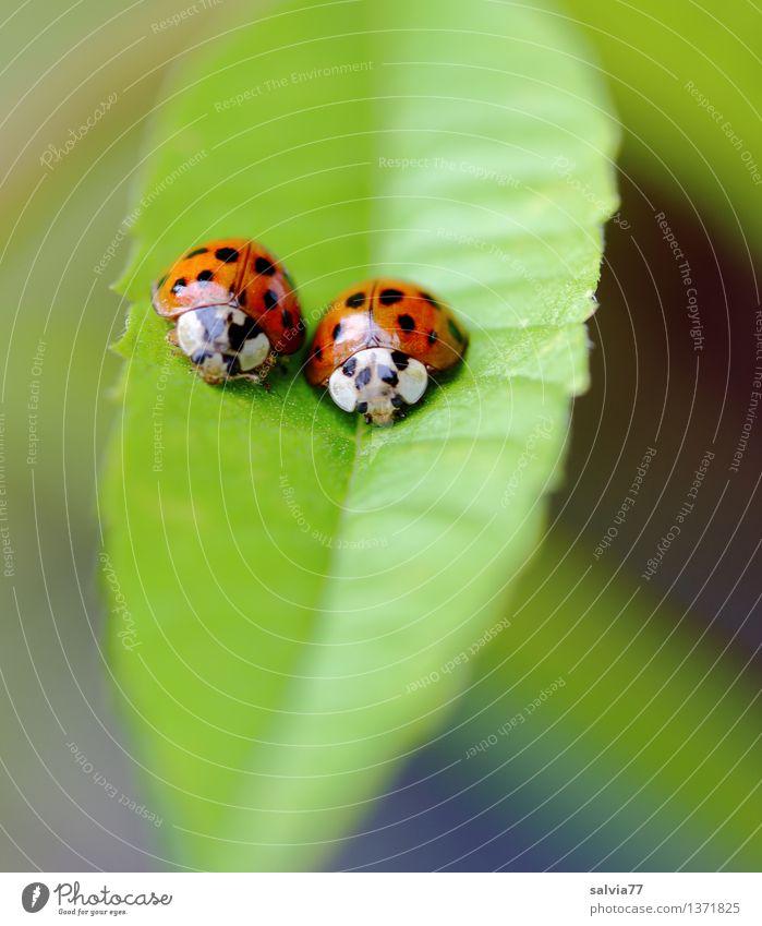 Paar Natur Pflanze Tier Blatt Grünpflanze Käfer Marienkäfer 2 Tierpaar sitzen Glück niedlich oben positiv grün orange Partnerschaft Farbe Sicherheit Team