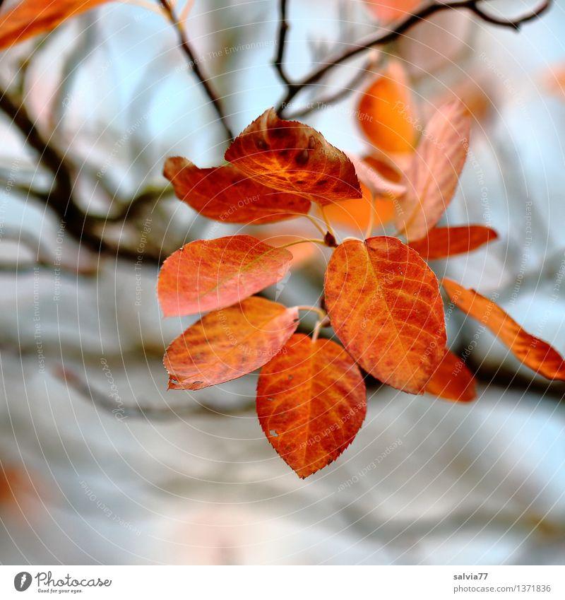 Letzte Blätter Natur Pflanze Himmel Herbst Sträucher Blatt Blattadern herbstlich Herbstfärbung Park leuchten braun gelb rot Stimmung ästhetisch Sinnesorgane