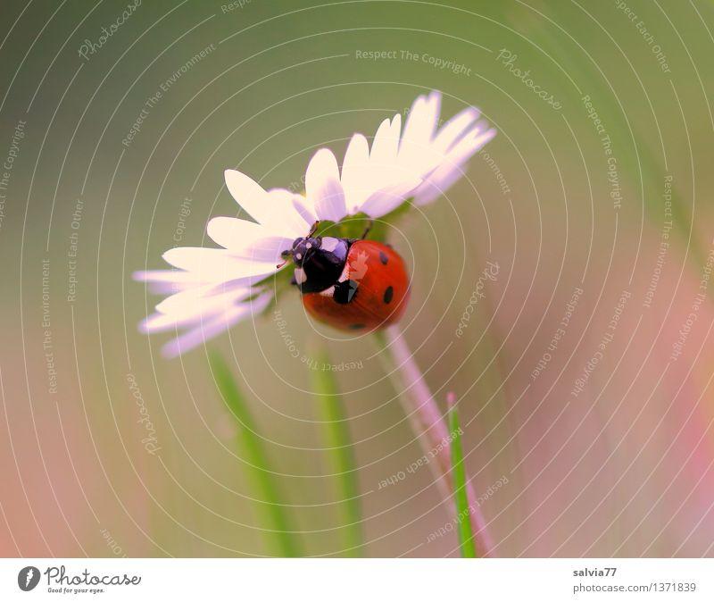 Gleich geschafft Umwelt Natur Pflanze Tier Frühling Sommer Blume Gras Blüte Gänseblümchen Wiese Marienkäfer Siebenpunkt-Marienkäfer Insekt 1 krabbeln ästhetisch