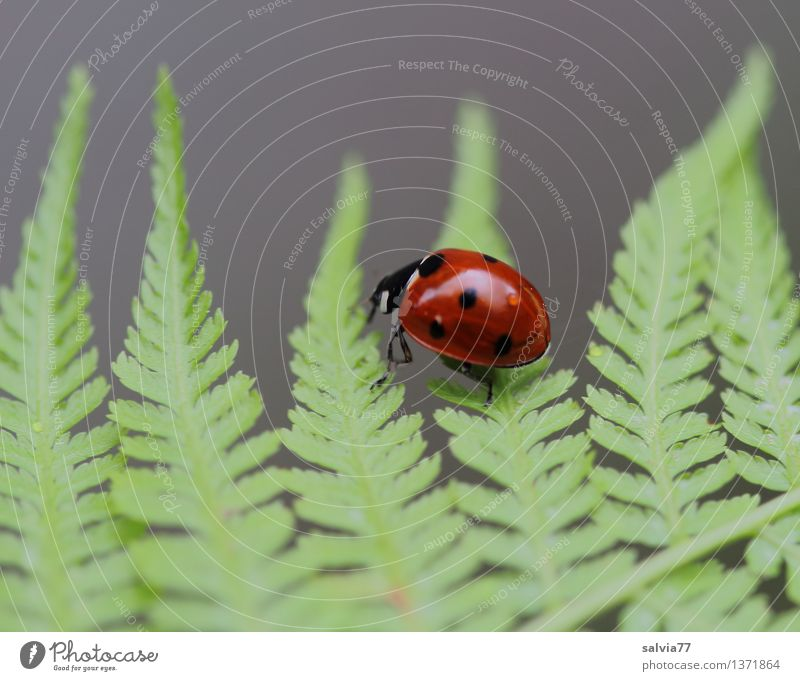 Leichtfüßig Pflanze Tier Sommer Farn Blatt Grünpflanze Käfer Marienkäfer Siebenpunkt-Marienkäfer 1 krabbeln glänzend klein positiv grau grün rot Glück Bewegung