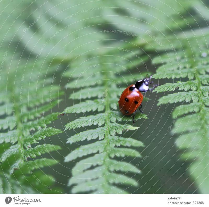 Siebenpunkt Natur Pflanze Tier Sommer Farn Blatt Grünpflanze Käfer Siebenpunkt-Marienkäfer 1 krabbeln exotisch natürlich niedlich grün rot Glück