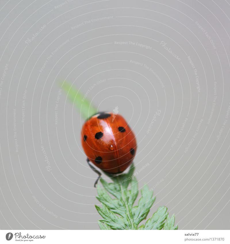 Gipfelstürmer Natur Pflanze Tier Farn Blatt Käfer Marienkäfer Siebenpunkt-Marienkäfer Insekt 1 krabbeln ästhetisch exotisch oben positiv grau grün rot Glück