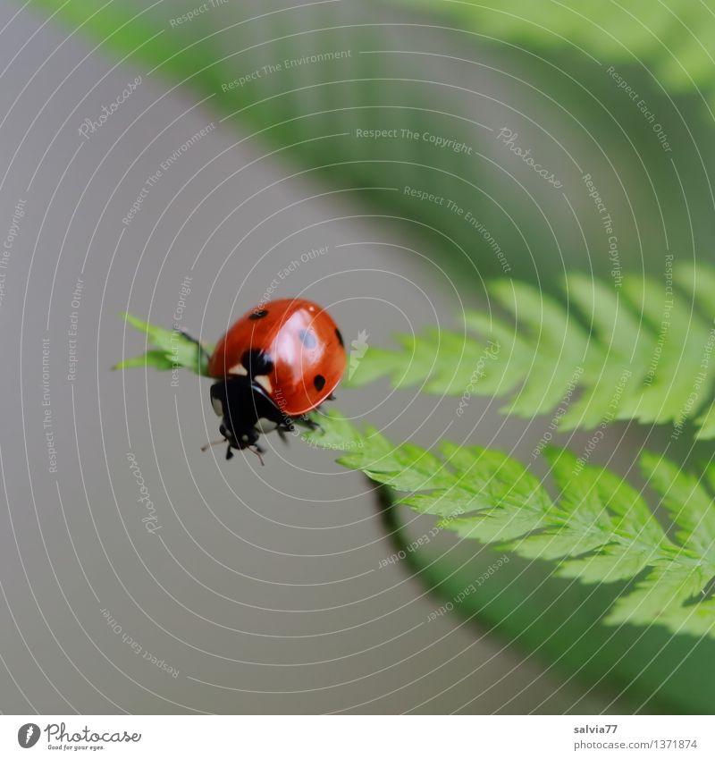 Spitzen vereint Natur Pflanze Tier Sommer Farn Blatt Käfer Marienkäfer Siebenpunkt-Marienkäfer Insekt 1 krabbeln ästhetisch klein oben positiv grau grün rot