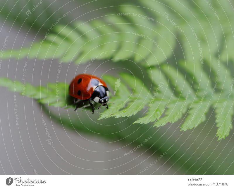 Blatt für Blatt Natur Pflanze Tier Sommer Farn Grünpflanze Käfer Marienkäfer Siebenpunkt-Marienkäfer Insekt 1 krabbeln klein oben grau grün rot Leichtigkeit