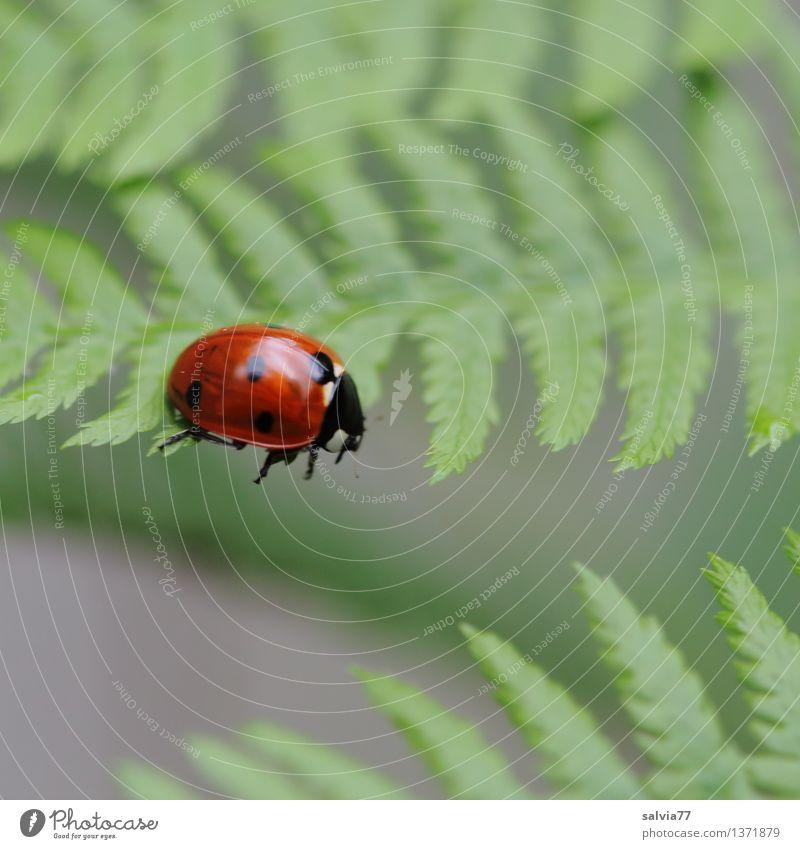 Leerlauf Natur Pflanze Tier Farn Blatt Käfer Marienkäfer Siebenpunkt-Marienkäfer Insekt 1 krabbeln ästhetisch Coolness frech klein Neugier niedlich oben grün