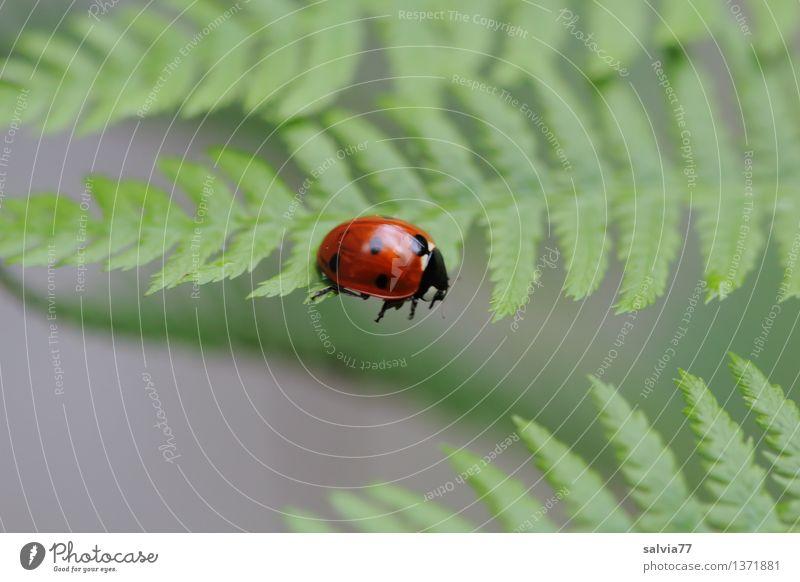 Tritt ins Leere Natur Pflanze Tier Sommer Farn Blatt Grünpflanze Käfer Siebenpunkt-Marienkäfer Insekt 1 Bewegung krabbeln klein niedlich oben grau grün rot