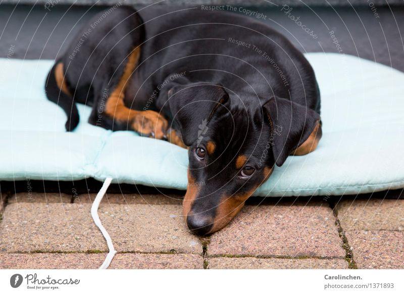 Zucker Tier Haustier Hund Fell Pfote 1 Tierjunges frech Freundlichkeit Fröhlichkeit glänzend Glück schön kuschlig klein Neugier niedlich blau braun schwarz
