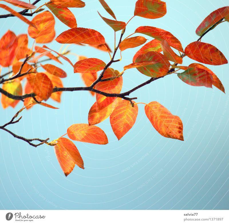 Herbstfarben Natur Pflanze Himmel Schönes Wetter Baum Sträucher Blatt Zweige u. Äste Blattadern Park leuchten ästhetisch dünn klein trocken Wärme blau braun