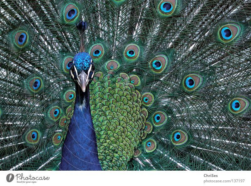 Pfau in blassblau_01 Vogel Vieh mehrfarbig schön eitel Radschlagen Körperhaltung Brunft Präsentation Tier grau grün Schnabel Federvieh Nordwalde Park mänchen