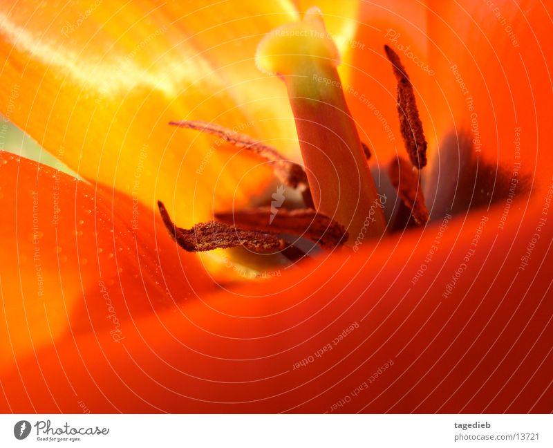 Tulpe Makro Blume Pflanze rot Blüte orange