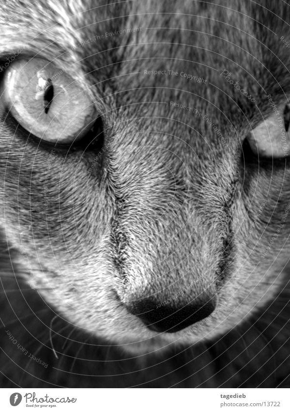 Katzenportrait nah Schwarzweißfoto