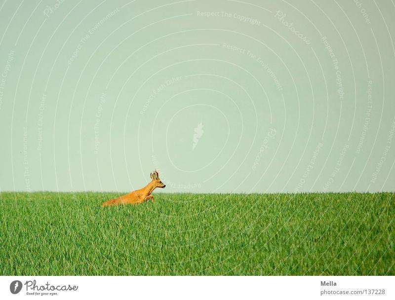 Auf der Flucht Umwelt Natur Tier Himmel Wiese Feld Wildtier Reh Rehbock 1 laufen springen frei natürlich blau grün Freiheit flüchten Farbfoto Außenaufnahme