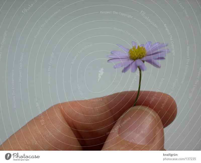 Lila Gänseblümchen Hand weiß Blume grün Pflanze gelb Finger violett Stengel festhalten Gänseblümchen
