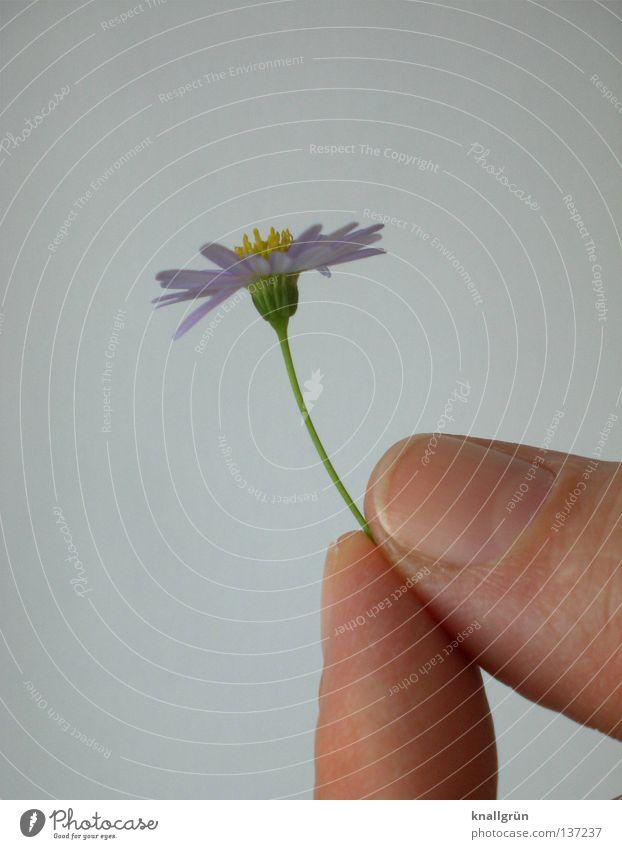 Abgepflückt Hand weiß Blume grün Pflanze gelb Finger violett festhalten Gänseblümchen gepflückt