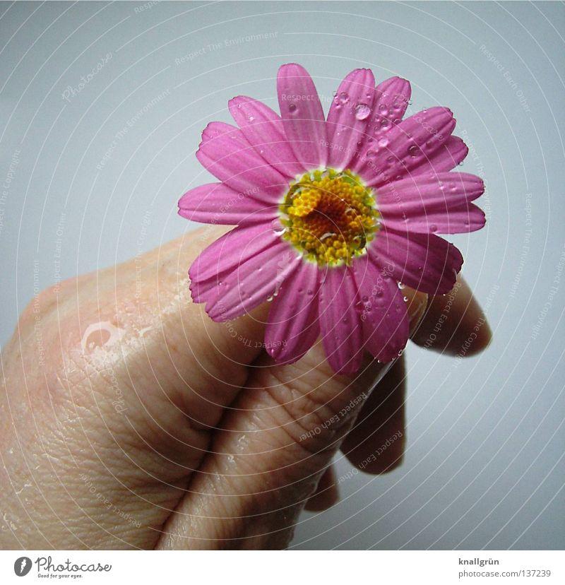 Mit allen Wassern gewaschen Hand weiß Blume Pflanze gelb hell rosa Wassertropfen nass Finger festhalten feucht Margerite Blütenblatt