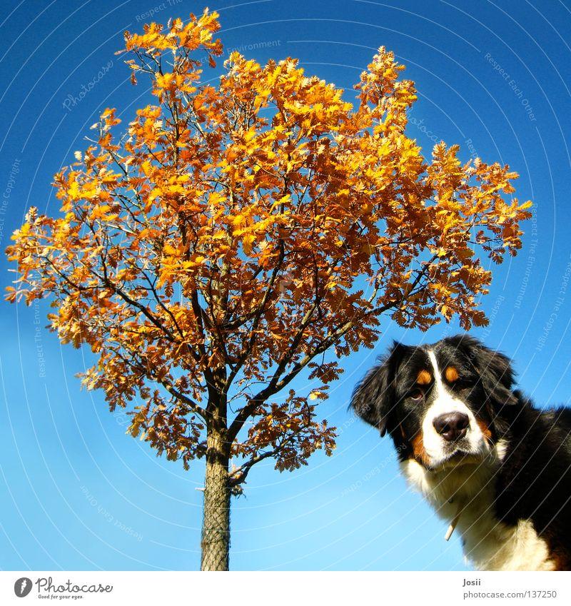 Was guckst du? Hund Baum Herbst Blatt erstaunt Quadrat braun Zaun Gitter Halsband Schnauze Orangenbaum Säugetier Blick hä was guckst du Wind blau Himmel