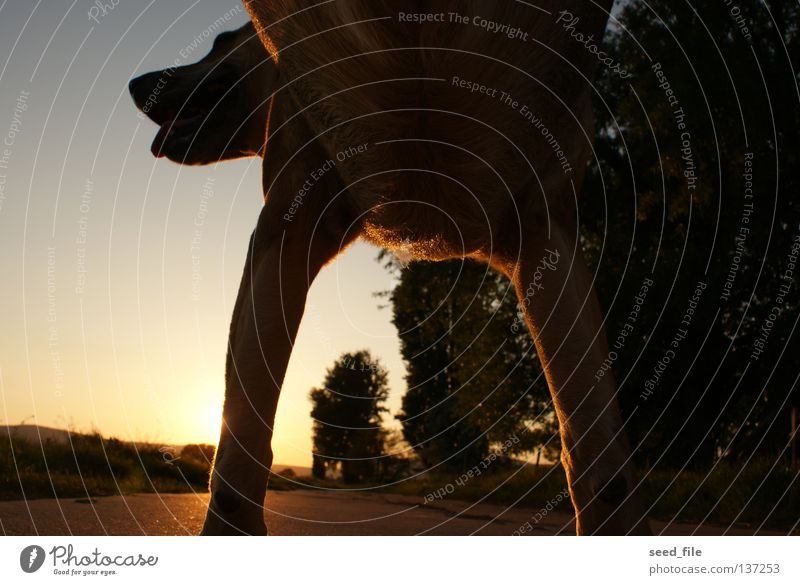 my dogs sunset 1 Hund Sonnenuntergang Tier Asphalt Säugetier Natur hundeleben Blauer Himmel wuff