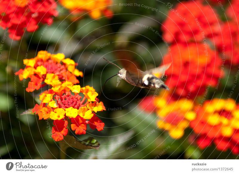 Wandelroeschen, Lantana, camara, Wandelrosen, Tier Blume Sträucher Blüte Topfpflanze Garten Terrasse Wildtier Schmetterling orange rot Wandelröschen