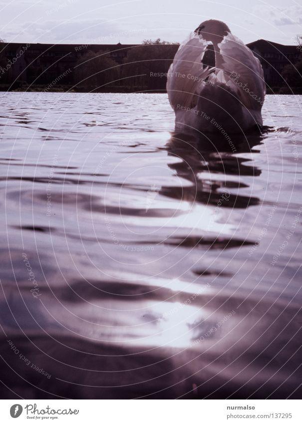 Guten Morgen Schwan Vogel fauchen weiß Wappentier Tier Jäger Märchen ausrutschen Horizont schön Licht füttern Wellen Fluss Bach Strand Küste Wasser Feder