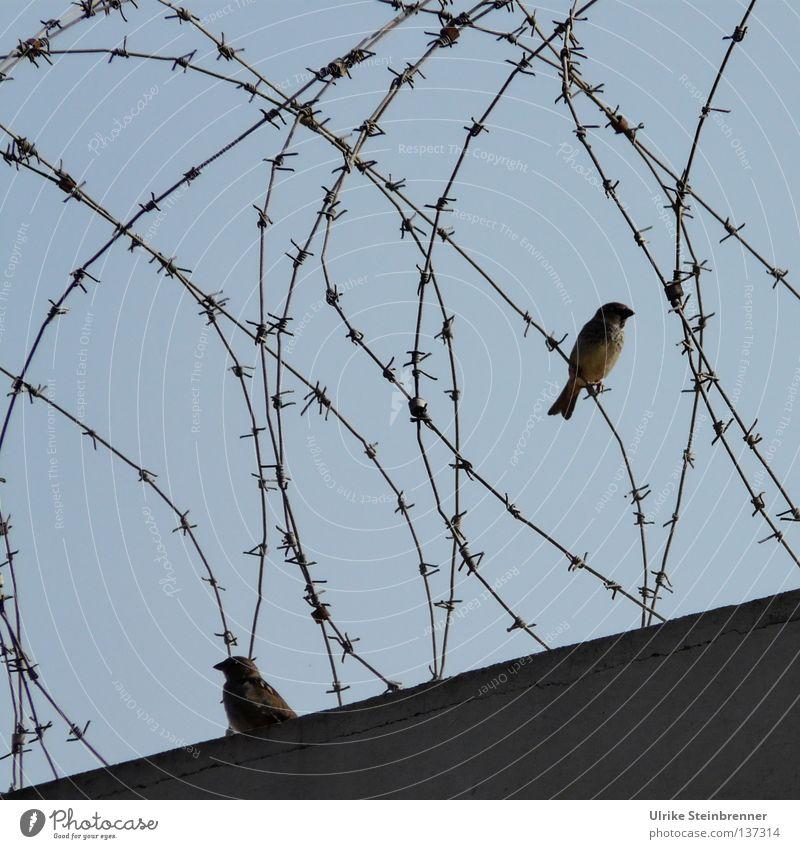 Stacheldraht auf Mauer mit zwei Spatzen Freiheit Luftverkehr Tier Himmel Flughafen Gefängnis Vogel 2 frei Frieden Zaun Grenze Barriere aussperren Versteck