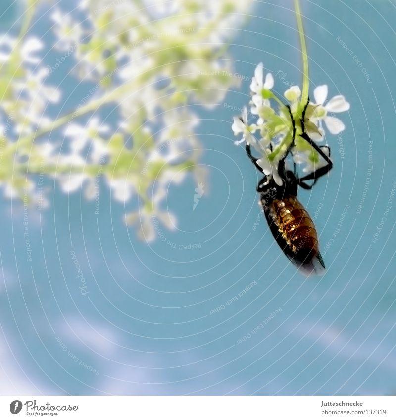 Abhängen Insekt Blume festhalten weiß zart krabbeln Sommer Feld klein baumeln Schiffsbug Erholung durchdrehen Pause ruhig Klimmzug Konzentration Käfer