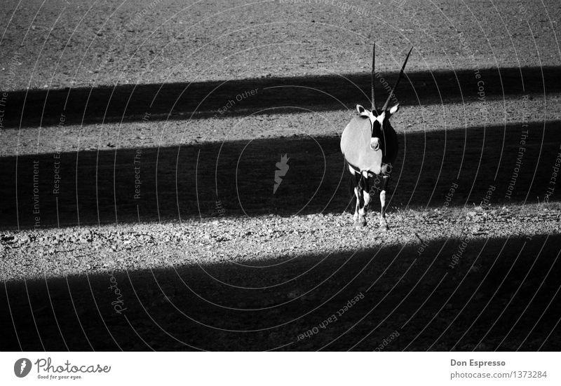 Oryx Natur Tier Sand Wildtier Spitze Coolness Wüste Afrika Safari Schattenspiel Namibia Antilopen Spießbock Etoscha-Pfanne