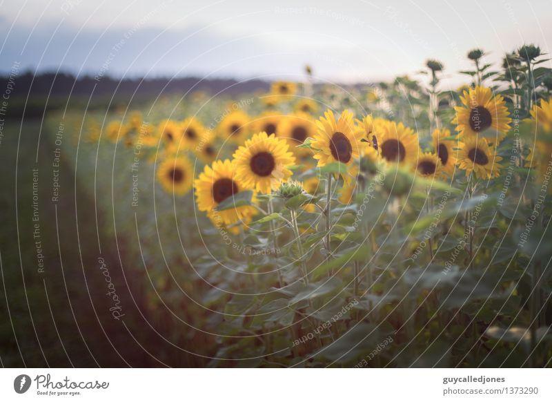 Ein Feld voller Sonne ruhig Sommer Sommerurlaub Natur Landschaft Schönes Wetter Pflanze Blume Sonnenblume Wiese grün Glück Farbe Ferien & Urlaub & Reisen