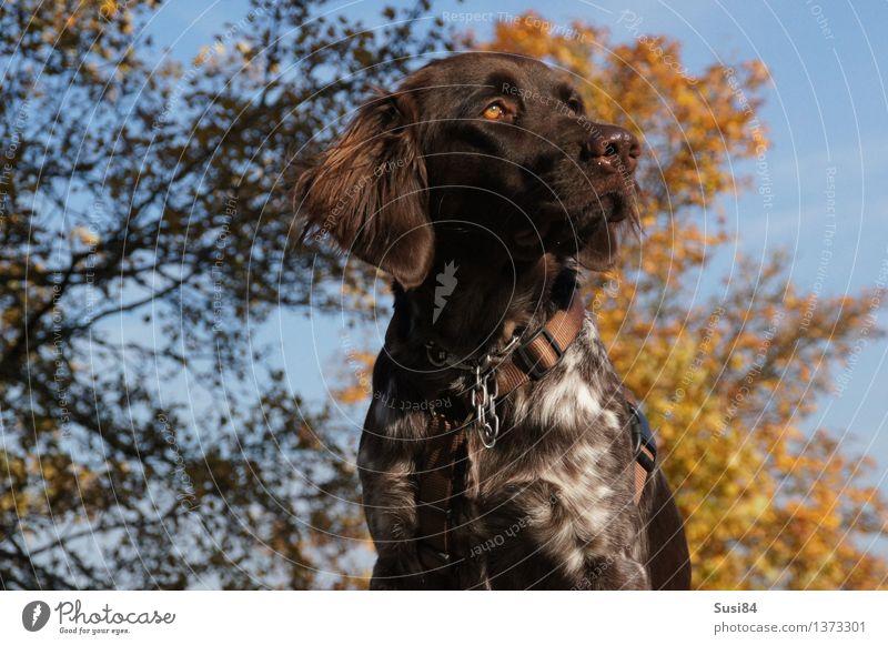 Anmut Natur Pflanze Herbst Baum Herbstlaub Laubbaum Feld Tier Haustier Hund Jagdhund 1 Blick elegant braun gelb Coolness Willensstärke Macht erhaben Ferne
